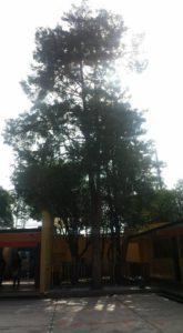 Poda de árboles urgente solicitan para Jardín de ...