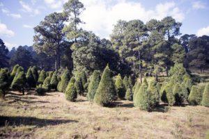 Invita SEDEREC a adquirir árboles de navidad cult ...